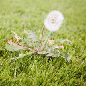 Dandelions are just one of the broadleaf weeds to be targeted in your late summer lawn care here in Cherry Hill, NJ.