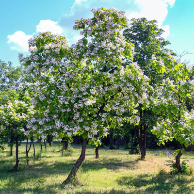 One of the most stunning flowering trees in New Jersey is the Northern Catalpa tree.