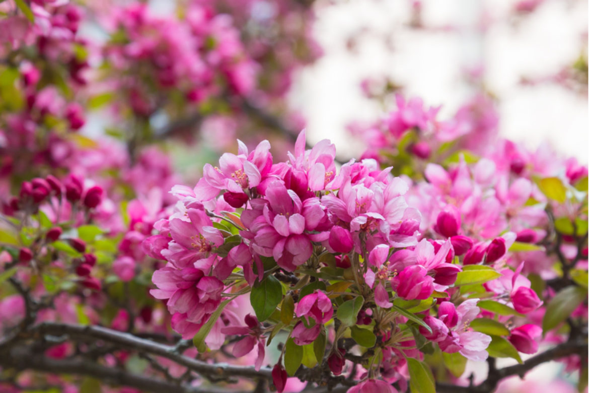 The Most Beautiful Flowering Trees to Plant in the Spring