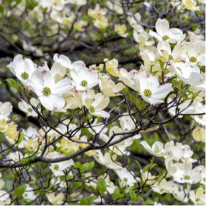 Dogwood trees are some of the most beautiful flowering trees to plant here in New Jersey.